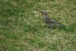 Northern Flicker.