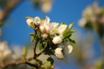 4/25/12 - Apple Blossom.
