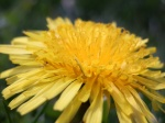 5/5/12 - even dandelions are pretty up close.