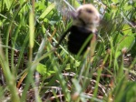 5/13/12 - almost a great close up of a Bumble Bee