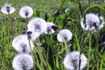"5/19/12 - ""Blowies"" in the sun."