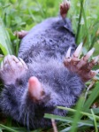 Dead mole.
